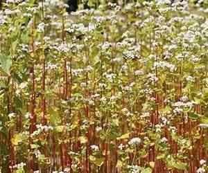 蕎麦の実-栄養-効能-効果-レジスタントプロテイン-花画像.jpg