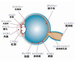 飛蚊症-原因-子供-見え方-パソコン-生まれつき-目の構造画像.jpg